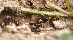 Black ants in the nest 4k Stock Footage