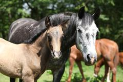 Beautiful mare with its foal on pasturage - stock photo