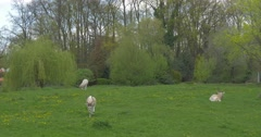 Three White Antelope Grazing on the Green Meadow. Stock Footage