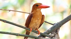 Bird Ruddy kingfisher (Halcyon coromanda) in nature - stock footage