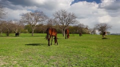 Small herd of horses - stock footage
