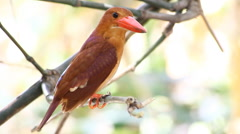Bird Ruddy kingfisher (Halcyon coromanda) in nature Stock Footage