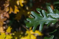 Green Oak Leaf With Yellow Leaves Fund - stock photo