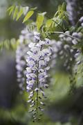 Close-up of purple wisteria flowers growing at park Stock Photos