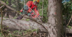 A logger is cutting branches on a fallen tree Stock Footage