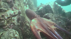 Big octopus in the stone seabed in search of food. Stock Footage