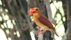 The Bird Ruddy kingfisher (Halcyon coromanda) in nature Stock Footage