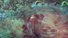 Big octopus in the stone seabed in search of food. - stock footage