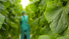 Agronomist works between cucumber plants Stock Footage
