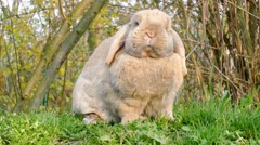 Small brown rabbit sitting in the grass and looking around Stock Footage