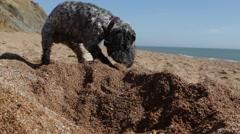 Dog digging on British beach Stock Footage