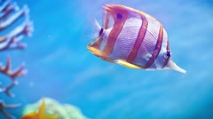Exotic Tropical coral fish in the Red Sea Stock Footage