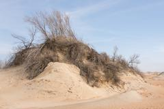 Sand dune with withered shrubs on it Stock Photos