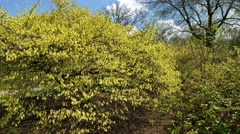 Chinese winterhazel, corylopsis sinensis, blooming with yellow flowers Stock Footage