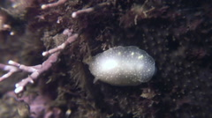 Nudibranch Mollusc True Sea Slug On the seabed. - stock footage