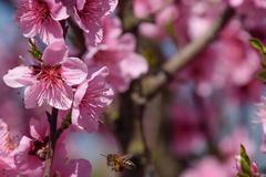 Pollination of flowers by bees peach Stock Photos