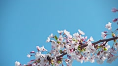 Sakura flowers and a bumblebee, slow motion Stock Footage