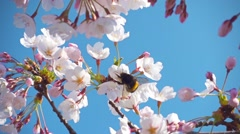Sakura flowers and a bumblebee, slow motion - stock footage