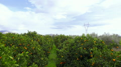 HD orange grove/field crane down movement reveal aerial - stock footage