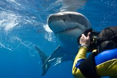 Great white shark (Carcharodon carcharias) making a close pass while photogra Stock Photos