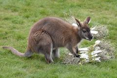 Red-necked wallaby - stock photo