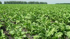 The cultivation of sugar beet. Field of young green sprouts of sugar beet. - stock footage