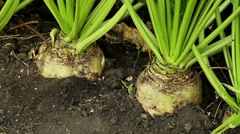 Growing up plants of sugar beet with a ripe root vegetables. - stock footage