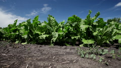 The cultivation of sugar beet. Field of ripening sugar beet. - stock footage