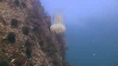 Greater jellyfish in the green waters of the sea. Stock Footage