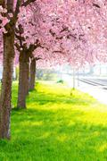 flowering cherry, sakura trees spring - stock photo