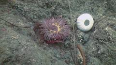 Sea anemone actinia on a stone floor. Stock Footage