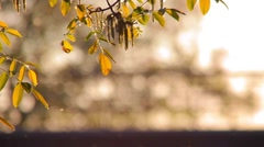 Pollen and tree leaves in the wind at dusk and traffic in the background - stock footage