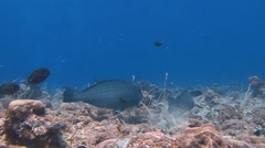 Bumphead parrotfish. Stunning colorful coral reefs. Stock Footage