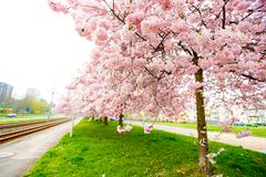 Sakura Flower or Cherry Blossom With Beautiful Background Stock Photos
