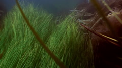 Thickets of green grass, seaweed on the sea floor. - stock footage