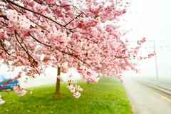 Sakura Flower or Cherry Blossom With Beautiful Background Stock Photos
