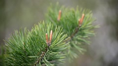 Pine branch with the young buds Stock Footage