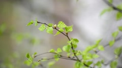 Young spring leaves on  birch tree in the wind Stock Footage