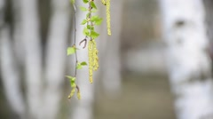Birch branch with catkins in early spring Stock Footage