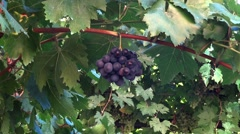 Bunch of grapes blue swinging in the wind Stock Footage