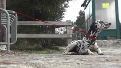 Dalmatian dog tied to his master with a red rope, by a fence Stock Footage