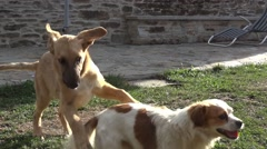 Two dogs are playing near a low wall, fleeing in all directions Stock Footage