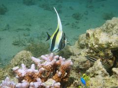 Juvenile fish moorish idol Zanclus cornutus - stock photo
