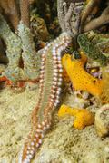 Sea life bearded fireworm marine bristleworm - stock photo