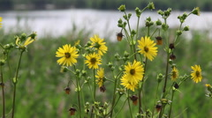 Lake with Black Eyed Susans, Daisys, Tall Grass Stock Footage