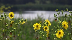 Lake with Tall grass and Daisys Stock Footage