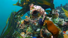 Colorful underwater reef with kelp, tunicates urchins and anemones Stock Footage
