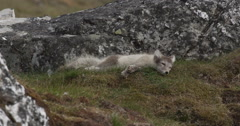 Young arctic fox resting on the soft grasses of arctic island Stock Footage