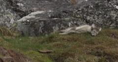 Arctic fox kit sleeps heavily on soft grass of arctic island Stock Footage