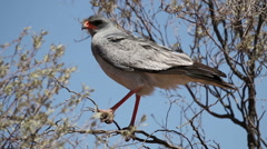 Pale chanting goshawk resting on a tree in the kalahari desert Stock Footage